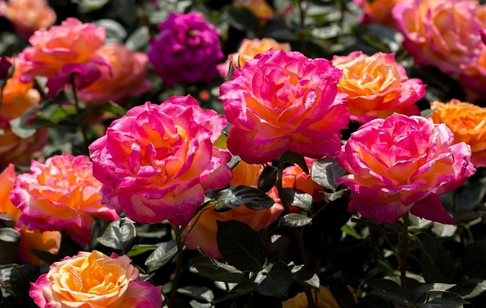 Roses Blooming in 13 Scenic Areas of Beijing