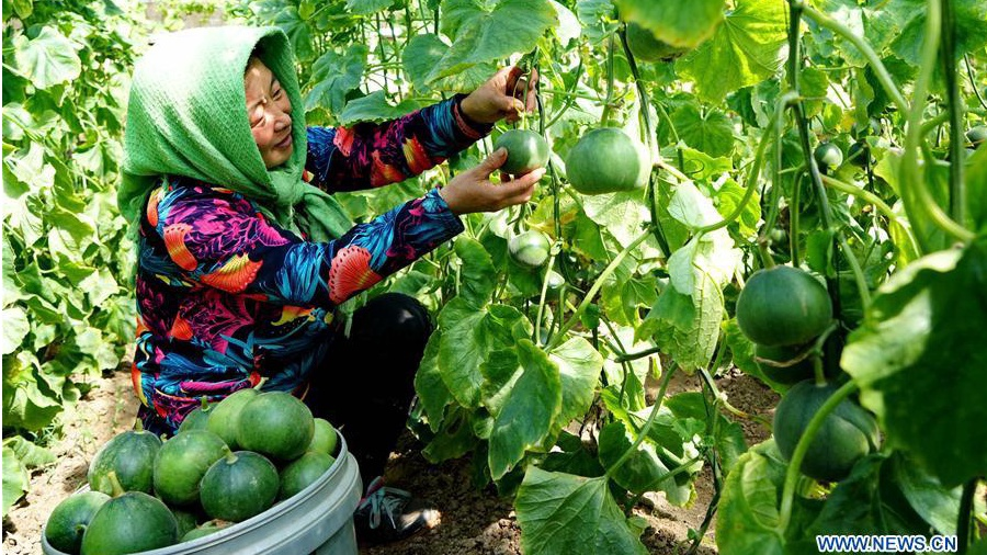 Farmers harvest melons in N China's Hebei