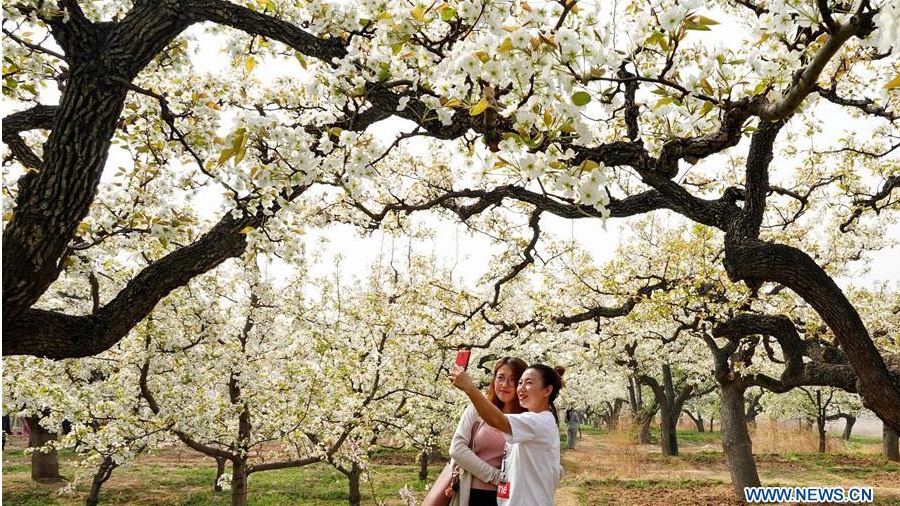 Blossoming pear trees in N China's Hebei