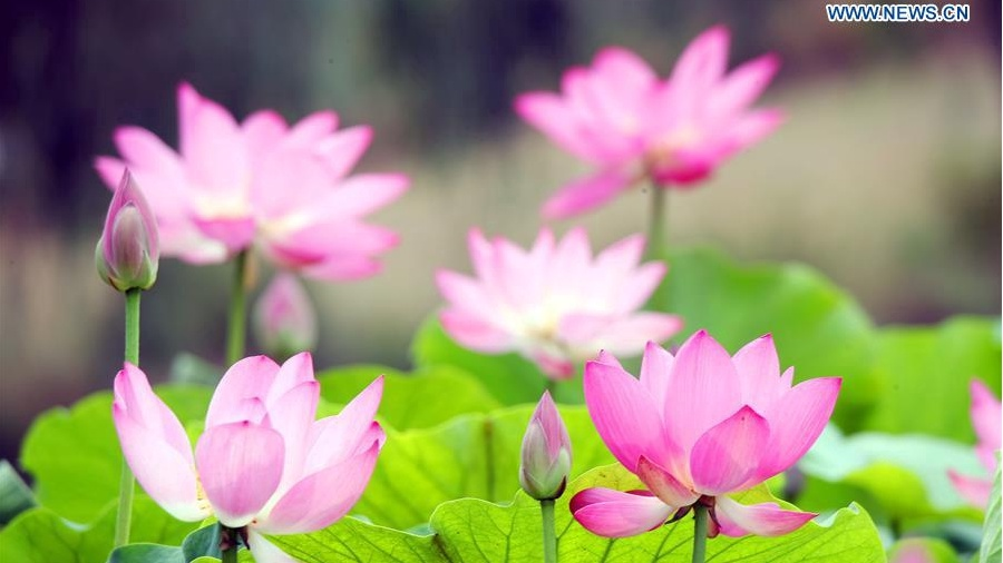 Lotus flowers bloom in Hebei