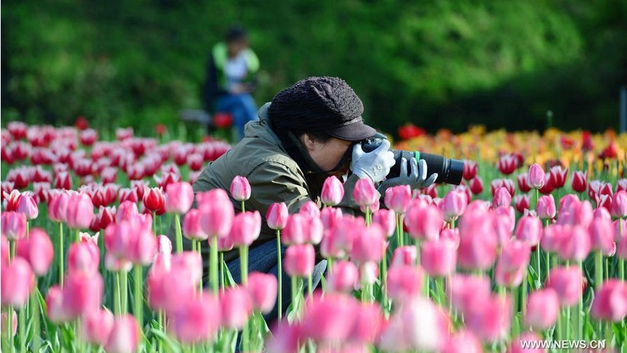 Blooming tulips at Beijing Jiaotong University